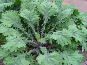 russian-kale-1